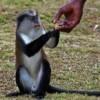 Monkey gets a hand, Grenada, 2006