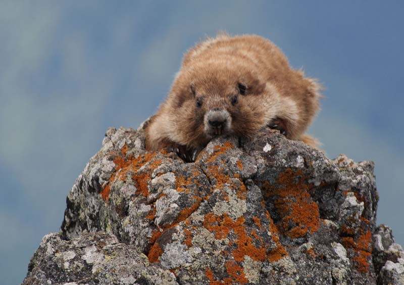 Marmot, Hurricane Ridge, Washington, July 2011