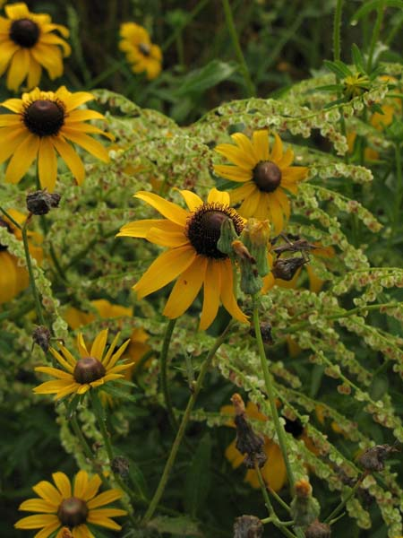 Sunflowers, near Teague Park in Longview
