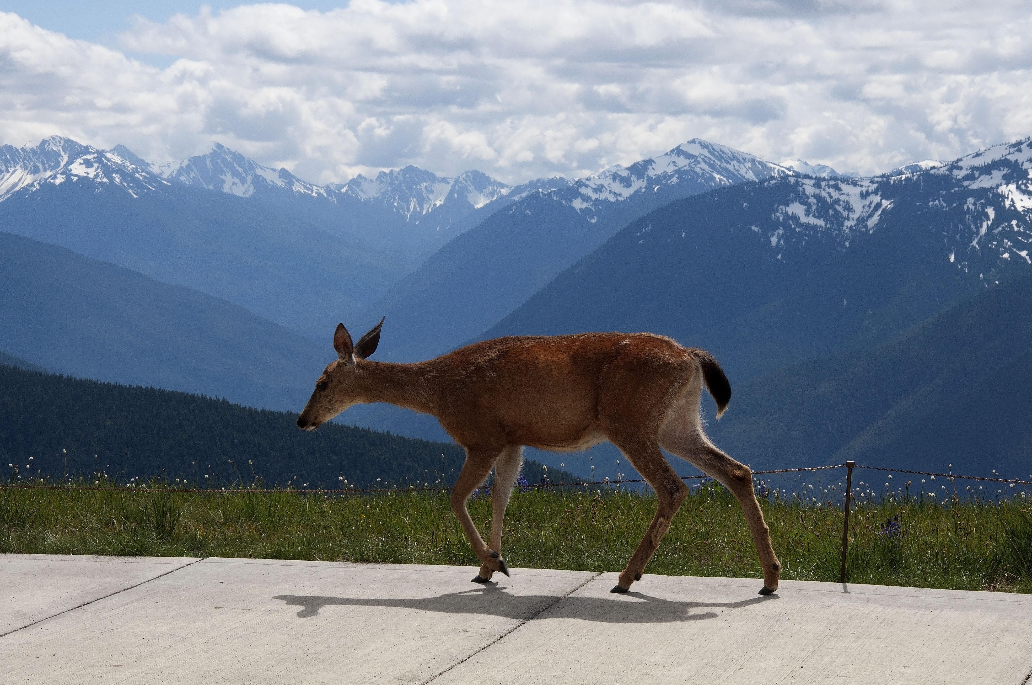 Deer on sidewalk, Hurricane Ridge, Washington, July 2011