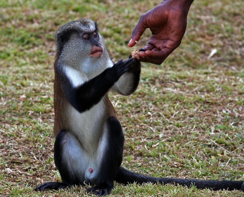 Monkey getting a handout, Grenada, May 2006