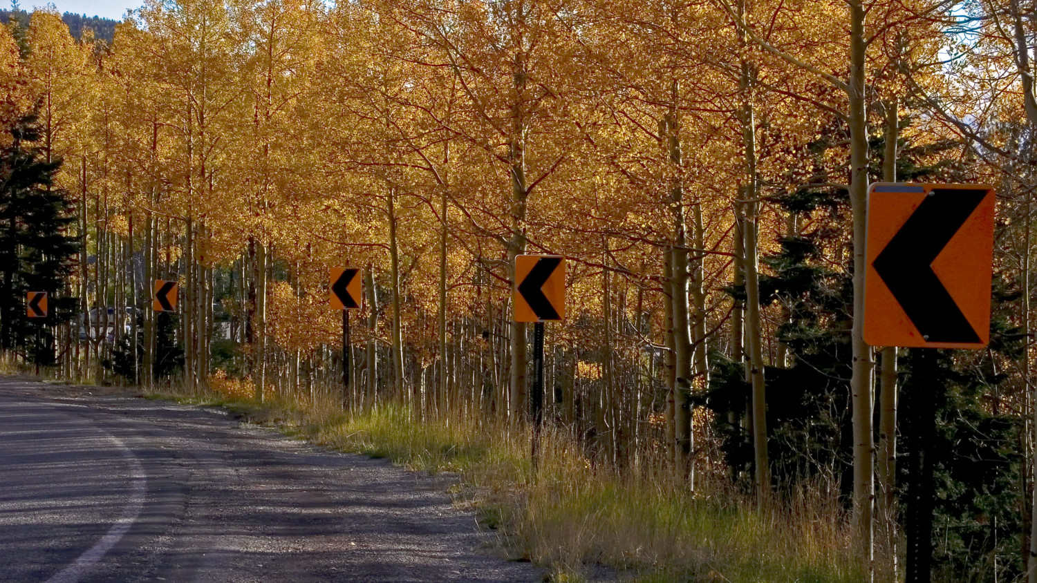 Aspens outside Santa Fe, New Mexico, October 2007