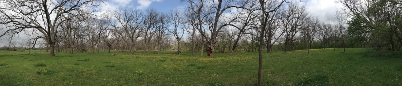 Henry Fox's pecan grove, Circleville, Texas, March 2013